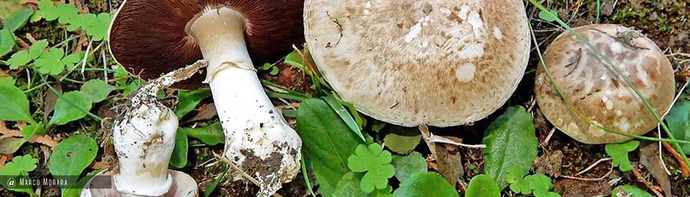 Agaricus bresadolanus
