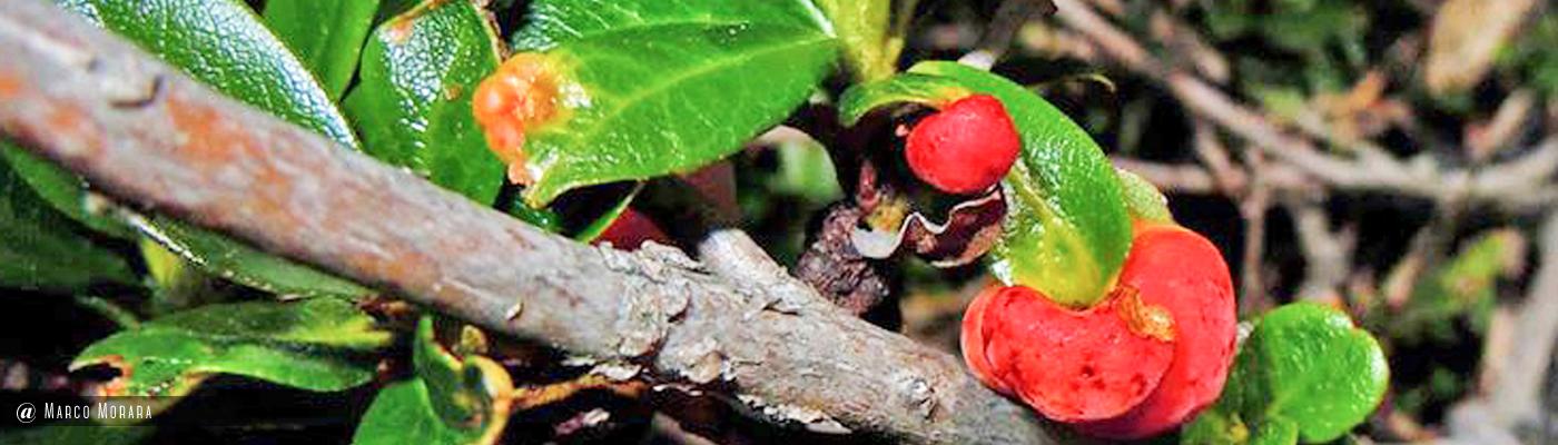 Exobasidium rhododendri